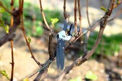 Ogrodowa drobiażdżarka na winogradzie Zdjęcie Royalty Free