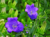 Ogrodowa dzwon purpur kampanula Fotografia Stock