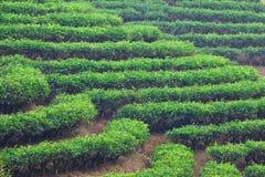 ogrodowa herbata Zdjęcie Royalty Free
