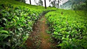 ogrodowa herbata Zdjęcia Royalty Free