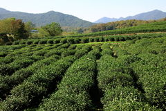 ogrodowa herbata fotografia stock