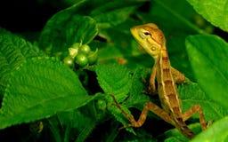 Ogrodowa jaszczurka Zdjęcie Stock