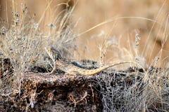 Ogrodowa jaszczurka zdjęcie royalty free