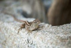 Ogrodowa jaszczurka fotografia stock