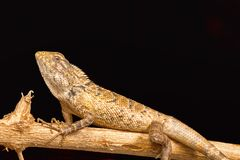 Ogrodowa jaszczurka, Calotes versicolor, Chitrakoot, Chhattisharg Zdjęcie Stock