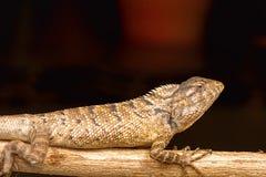 Ogrodowa jaszczurka, Calotes versicolor, Chitrakoot, Chhattisharg Obraz Stock