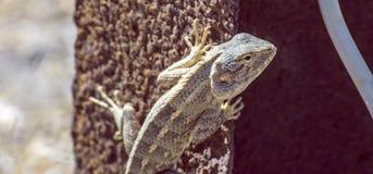Ogrodowa jaszczurka na stalowym pręt Fotografia Stock