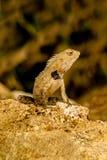 ogrodowa jaszczurka Oriental Obraz Royalty Free