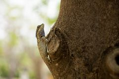 ogrodowa jaszczurka Oriental Obraz Stock