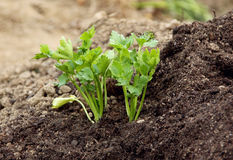 ogrodowa persley rośliny ziemia Fotografia Stock