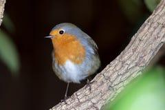 Ogrodowa przyroda Rudzika redbreast ptak w górę obrazy stock