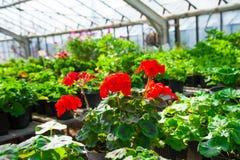 Ogrodowa szklarnia agribusiness Obraz Royalty Free