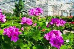 Ogrodowa szklarnia agribusiness Zdjęcia Stock