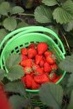 ogrodowa truskawka zdjęcie stock