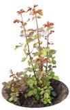 ogrodowe czerwone róż rozsad flance Zdjęcia Stock