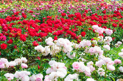 ogrodowe róże Obraz Stock