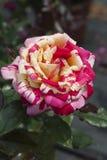 ogrodowe róże obrazy stock