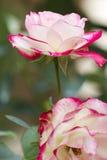 ogrodowe róże fotografia stock