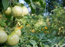 ogrodowe zielone pomidory Obraz Stock