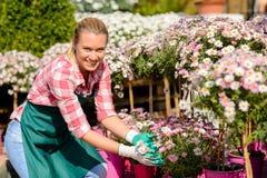 Ogrodowego centrum kobiety stokrotka puszkująca kwitnie uśmiecha się Zdjęcie Royalty Free