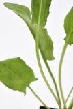 Ogrodowego kobylaka liście Obraz Royalty Free