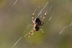 Ogrodowego pająka obsiadanie po środku swój sieci fotografia stock