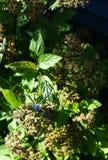 Ogrodowego pająka wierzchołek Zdjęcie Stock