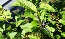 Ogrodowego pająka dno Fotografia Royalty Free