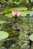 Ogrodowej przyrody Stawowa leluja obraz royalty free