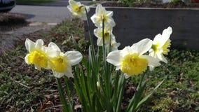 Ogrodowi Daffodils Obrazy Stock