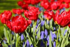 ogrodowi gronowi hiacyntów czerwonej wiosna tulipany Obrazy Stock
