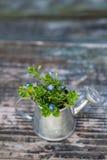 Ogrodowi narzędzia, podlewanie puszka i kwiaty na starym drewnianym tle, Obrazy Stock