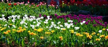 ogrodowi tulipany Zdjęcie Stock