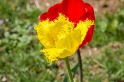Ogrodowi tulipany Obrazy Royalty Free