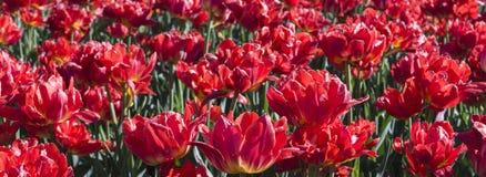 ogrodowi wiosna tulipany winieta, tło Obrazy Royalty Free