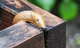 Ogrodowy ślimaczek Fotografia Royalty Free