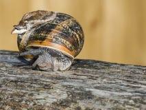 Ogrodowy ślimaczek Zdjęcia Royalty Free