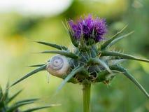 Ogrodowy ślimaczek na purpura kwiacie Plenerowy środowisko Lato wiosna Piękny zwierzęcy przyrody tło świeże green Zdjęcie Stock