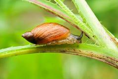 Ogrodowy ślimaczek uporczywie czołgać się obraz royalty free