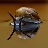 Ogrodowy ślimaczek w wodnym lustrze 1 zdjęcia royalty free