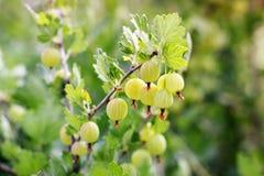 ogrodowy agrest Zielone jagody Agrus zdjęcie royalty free