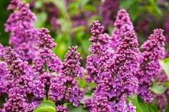 ogrodowy bez Tło z pięknym bzem kwitnie w gar Zdjęcie Royalty Free