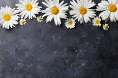 Ogrodowy chamomile kwitnie nad kamieniem Fotografia Stock
