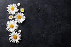 Ogrodowy chamomile kwitnie nad kamieniem Zdjęcia Royalty Free