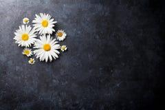 Ogrodowy chamomile kwitnie nad kamieniem Zdjęcie Stock