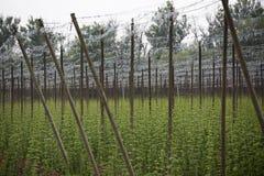 Ogrodowy chmielu krajobraz w wiośnie rolnictwo krajobraz opiek budów rzędy Obrazy Royalty Free