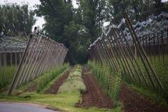 Ogrodowy chmielu krajobraz w wiośnie rolnictwo krajobraz opiek budów rzędy Fotografia Royalty Free