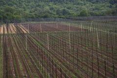 Ogrodowy chmielu krajobraz w wiośnie rolnictwo krajobraz opiek budów rzędy Obraz Royalty Free