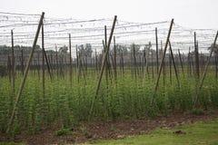 Ogrodowy chmielu krajobraz w wiośnie rolnictwo krajobraz opiek budów rzędy Zdjęcia Royalty Free