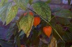 Ogrodowy czerwony kwiat Okwitnięcie w wczesnej jesieni ziele Obraz Stock
